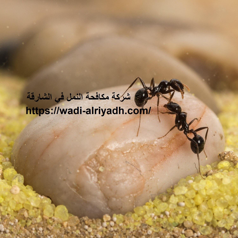 شركة مكافحة النمل في الشارقة