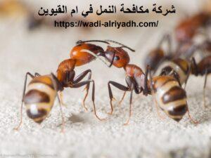 شركة مكافحة النمل في ام القيوين